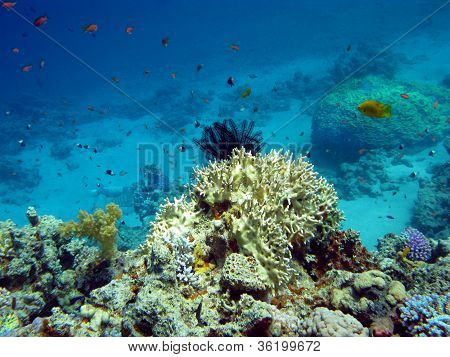 coral reef with hard and soft corals on the bottom of red sea in egypt poster