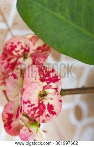 Euphorbia Bicompacta Flower.