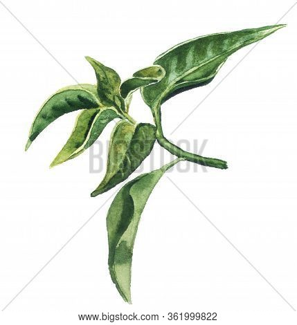 Watercolor Image Of Green Tea Leaves Isolated On White Background. Hand Drawn Abstract Floral Illust