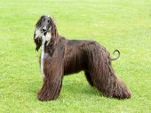 The puppy Afghan Hound on the green grass poster