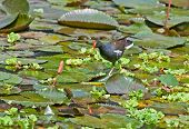 Bird Common Moorhen searching for food in lake water amongst Lotus leaves and flower buds poster