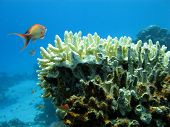 coral reef with hard coral on the bottom of red sea and exotic fish poster