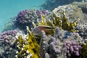 coral reef on the bottom of red sea poster
