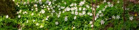 White Anemones On The Forest Floor With Fresh Green Leaves In The Spring