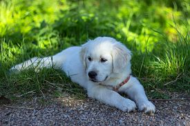 Puppy Of Golden Retriever. Portrait Of A Cute Golden Retriever Puppy In A Garden. Dog Outdoors. A Pu