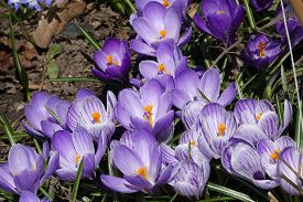 Blooming Colorful Crocuses On The Flower Bed