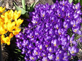 Blooming Colorful Crocuses As A Floral Backgground