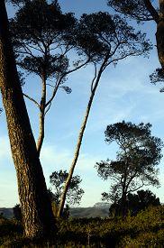 Provencal Pines Tree And Blue Sky, South France, Near Bandol