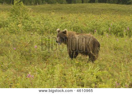 Brown Bear (ursus Arctos Jeniseensis)