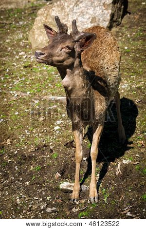 Young Male Elk Calf With New Antlers