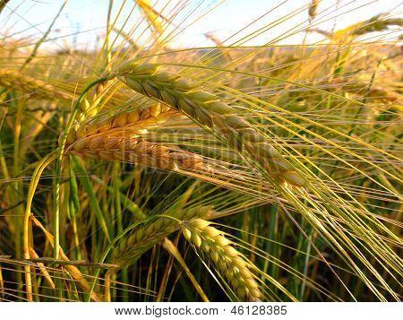 Wheat rowing in a farm field