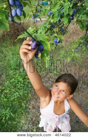 Child Reaching Plums From A Tree
