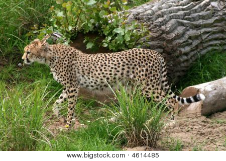 The cheetah (Acinonyx jubatus) is an atypical member of the cat family (Felidae) that is unique in its speed while lacking climbing abilities. As such it is placed in its own genus Acinonyx. It is the fastest land animal reaching speeds upwards of 112 kmh poster