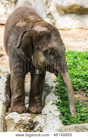Bebê elefante no Zoo de Chiangmai, Tailândia