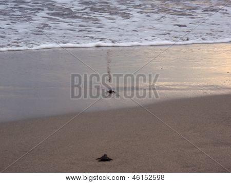 Baby Turtle Walk Through The Sand Towards The Ocean