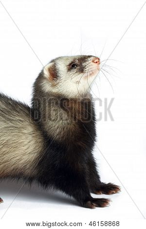 Happy smiling ferret looks up isolated on white poster