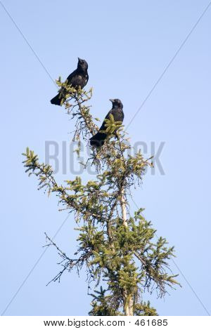 Two Crows Looking Left