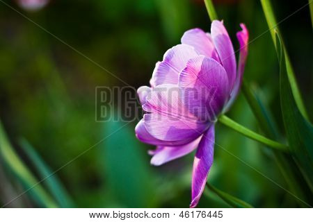 Lilac flower called Peony tulip. Lush flower petals on a background of bright verdure. poster