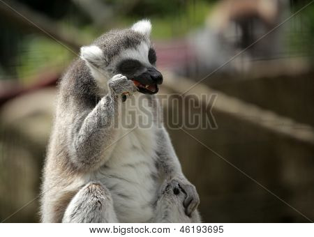 Ring-tailed lemur eating carrot