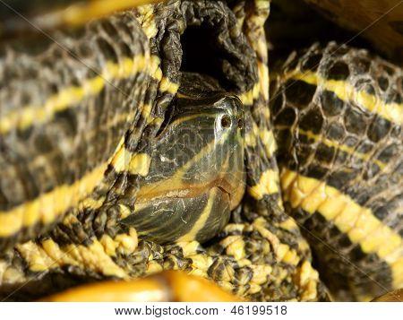 Slider Turtle (Trachemy scripta)