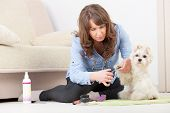 Smiling woman grooming a dog purebreed maltese. poster