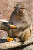 Rhesus monkey eating orange in the sun and looking up poster