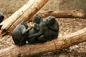 """The Celebes Crested Macaque (Macaca nigra) also known as the Crested Black Macaque Sulawesi Crested Macaque or the Black """"Ape"""" is an Old World monkey that lives in the northeast of Indonesian island of Sulawesi (Celebes) as well as on neighbouri poster"""