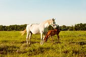 white mare and bay foal in a meadow at sunset poster