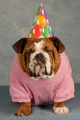 birthday dog - english bulldog dressed up for birthday party poster