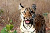 Laughing Tiger Cub, Tadoba Andheri Tiger Reserve poster
