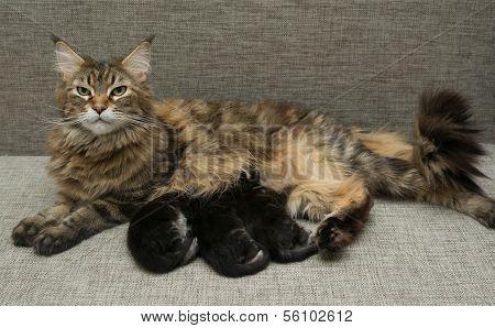 Cat Milk Feeding Her Kittens