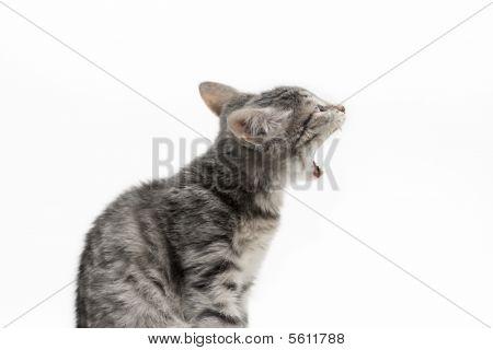 Yawning Tabby-cat