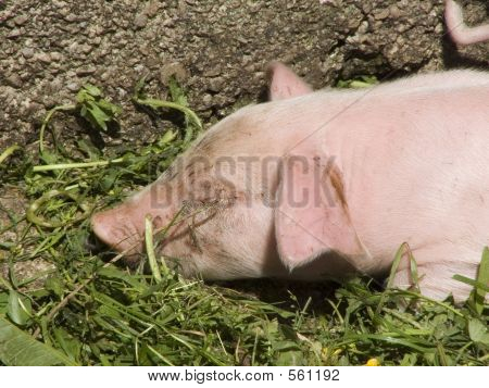 pigs at farm poster