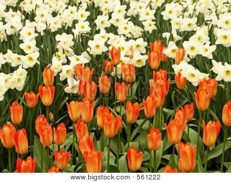 Tulip And Narcissus Field