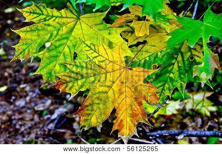 Autumn Maple Branch.