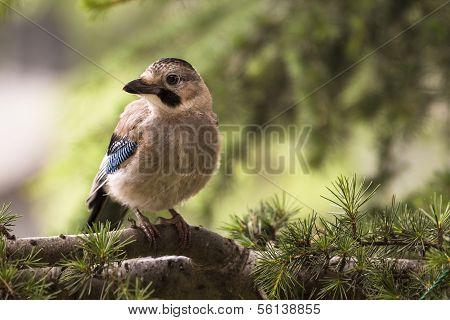 Jay bird on a twig