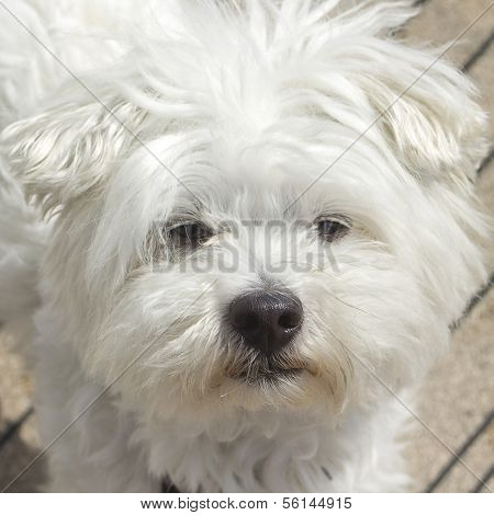 Portrait of white Maltese female dog. sun light poster