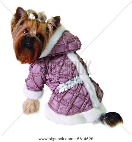 Dog in pink jacket isolated on white poster