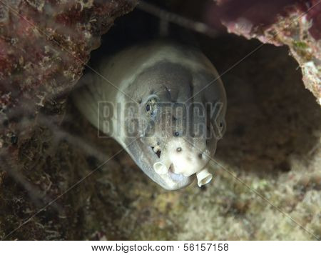 Dark-shouldered Snake Eel