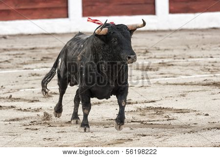 Bull about 650 Kg galloping in the sand right when I just got out of the bullpen