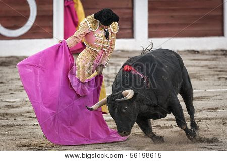 Spanish bullfighter Manuel Jesus El Cid with the capote or cape bullfighting a bull of nearly 600 k