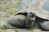 A giant tortoise appears to be angry and yelling at his neighbors. poster