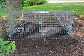 Two small American raccoons caught in a live trap in a homeowners back yard poster