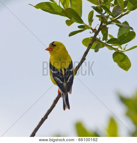 Resting American Goldfinch