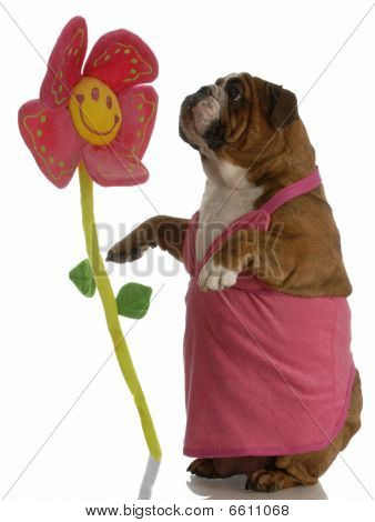 english bulldog female stopping to smell the flowers poster