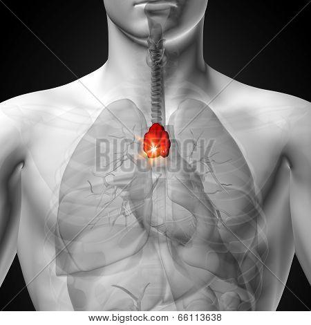 Thymus - Male anatomy of human organs - x-ray view