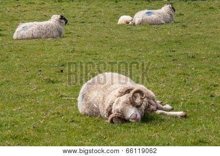 sleeping ram