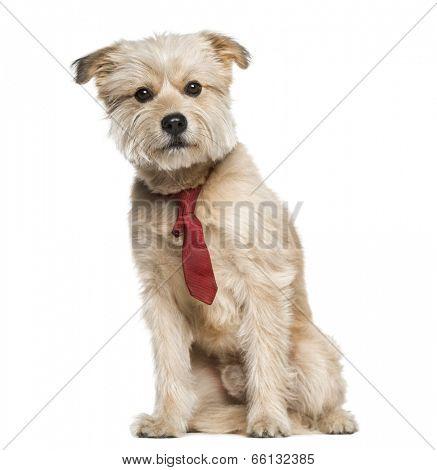 Pyrenean Shepherd wearing a tie (3 years old)