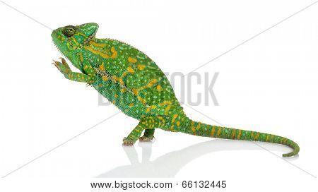 Yemen chameleon on hind legs - Chamaeleo calyptratus - isolated on white