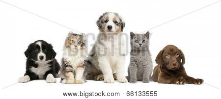 Group of pets: kitten and puppy on a raw